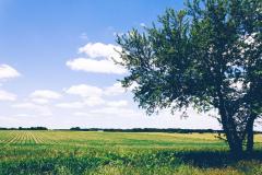 campo-di-riso-con-albero